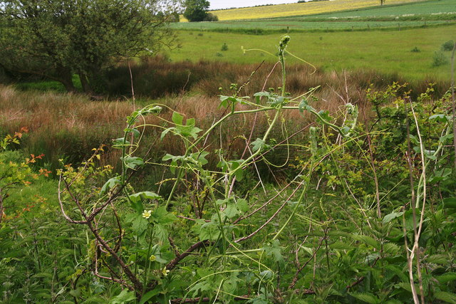 Self supporting White Bryony by the A15 at Dunsby