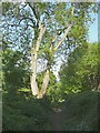 SE1640 : Ash tree, Ladderbanks Lane by Humphrey Bolton