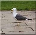 NT2475 : Lesser Black-backed Gull, Royal Botanic Gardens, Edinburgh by Oliver Dixon