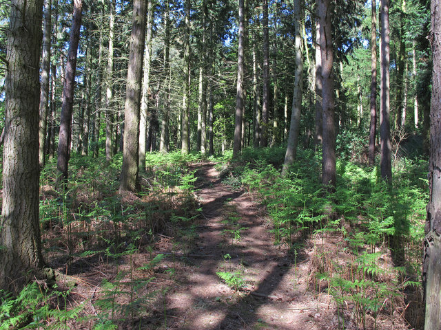 Conifer Woodland, near Kate's Parlour, Sotterley