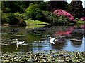 TQ4124 : Swans and cygnets by Russel Wills