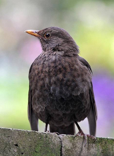 A female blackbird
