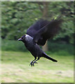 SE7169 : Flapping Jackdaw by Pauline E
