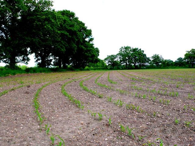 Maize Field near Princethorpe