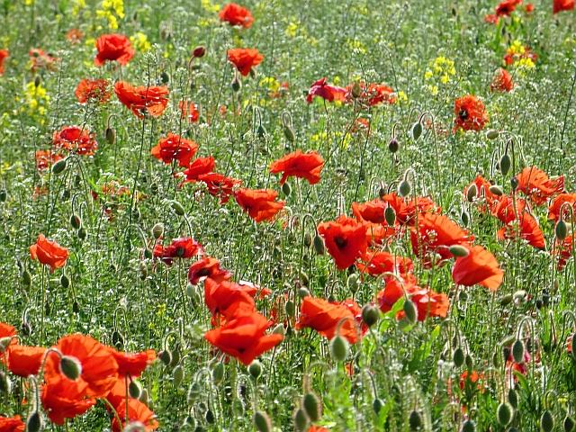 Poppies, Bolton