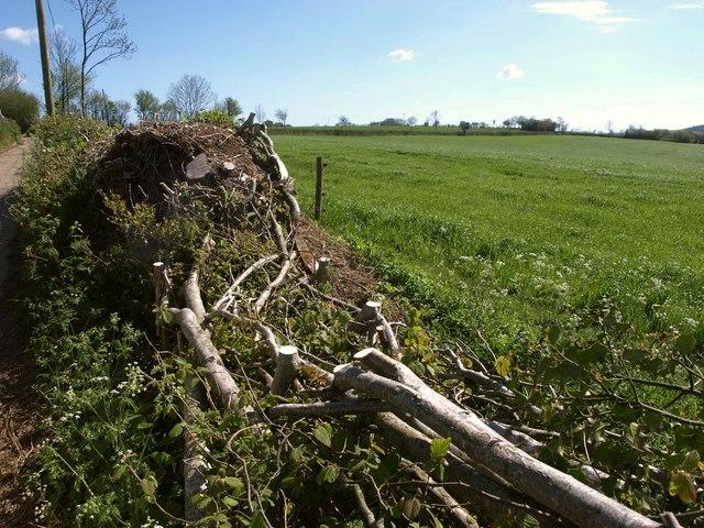 Laid hedge and field near Furley Cross