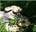 NT9808 : Dryad's Saddle Fungus (Polyporus squamosus)  by Russel Wills