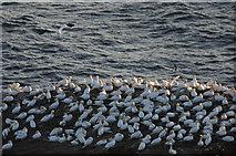 HP5917 : Gannets (Morus bassanus) on Clingra Stack, Hermaness by Mike Pennington