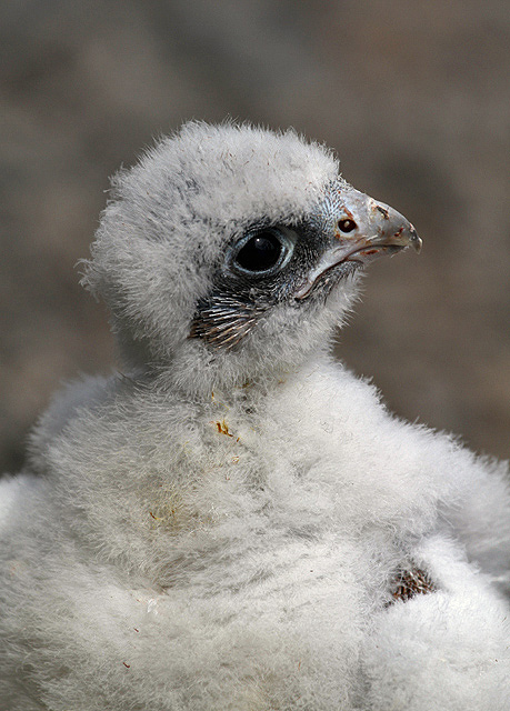 A peregrine chick at Jedburgh Deer and Farm Park