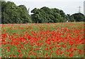 SE7772 : Poppy field near Long Plantation by Pauline E