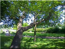 SP1971 : Tree leaning on a prop by Andrew H