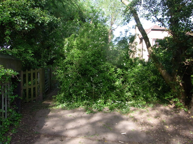 Fallen hawthorn across the path
