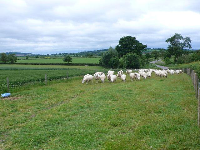 Sheep near Church Farm