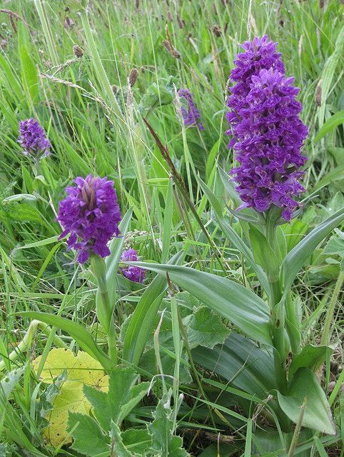 Northern marsh orchids, Bempton cliffs