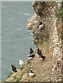 TA2570 : A little band of puffins by Pauline E