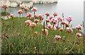 TA2570 : Sea pink, Flamborough Head by Pauline E