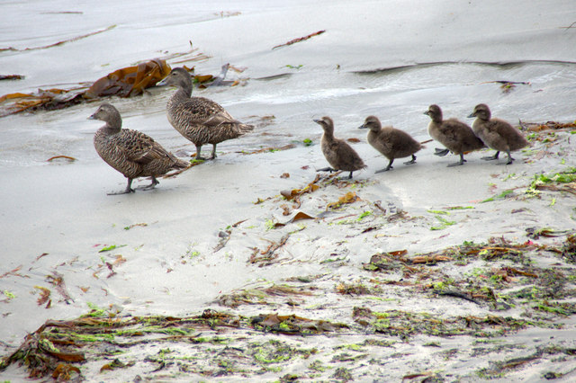 Eiders and ducklings, Lund