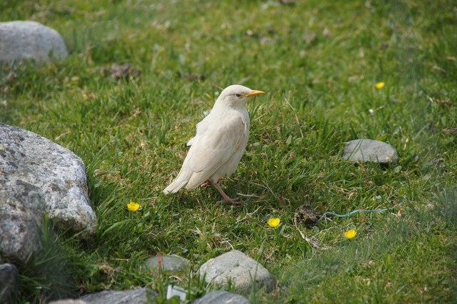 Leucistic Starling (Sturnus vulgaris), Kirkaby, Westing