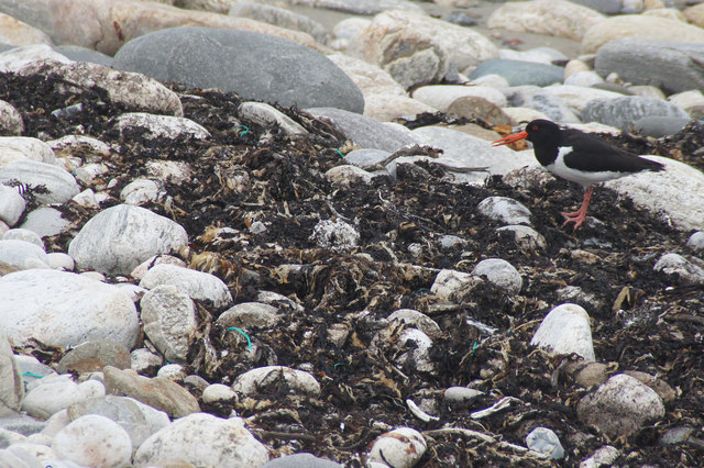 Oystercatcher (Haemotopus ostralegus), Ayre of Collaster, Westing