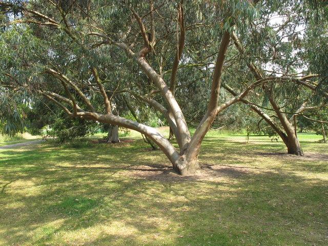 Spinning gum - Eucalyptus perriniana - Kew gardens