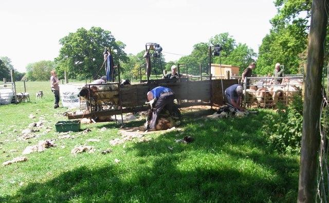 Shearing the Jacob's sheep, Charlecote