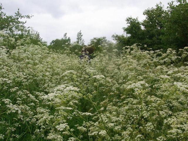 Footpath with cow parsley in the scrub area near R. Alne