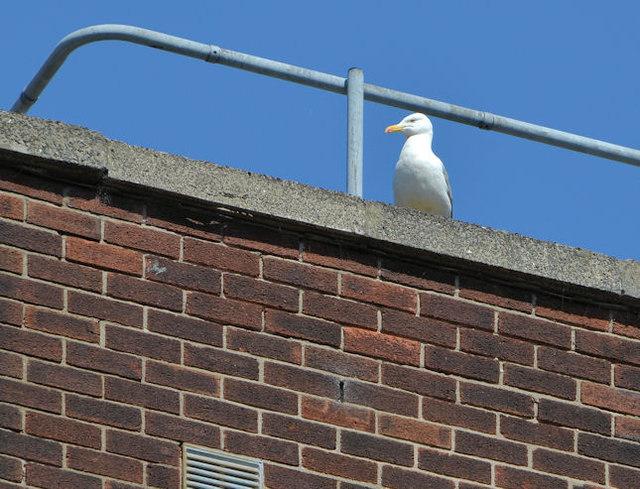 Rooftop gull, Belfast (2013)