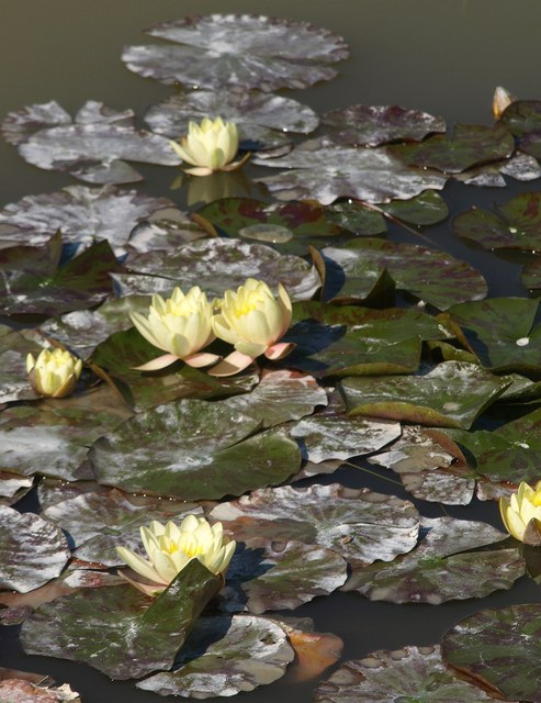 Water lilies,  Smallhanger Waste