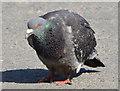 J3675 : Feral pigeon, Victoria Park, Belfast by Albert Bridge