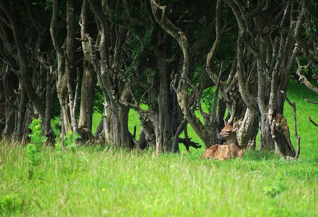 Fawn near Dundonald