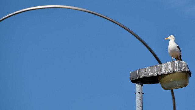 Gull and streetlight, Belfast (2013-1)