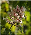 SX5456 : Horse chestnut flower, Plympton by Derek Harper