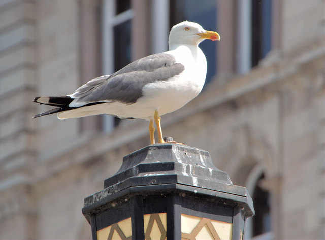Gull and streetlight, Belfast (2013-2)