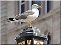 J3374 : Gull and streetlight, Belfast (2013-2) by Albert Bridge