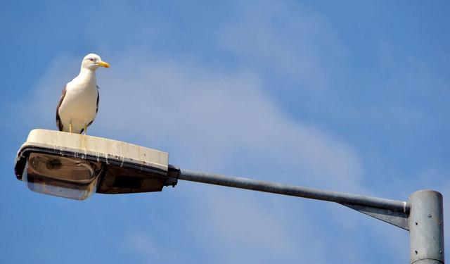 Gull and streetlight, Belfast (2013-3)