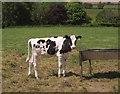 SX4262 : Calf, Clampit by Derek Harper