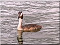 NZ2770 : Great Crested Grebe on Killingworth Lake by David Dixon