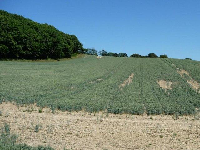 Wheatfield at the edge of Foxbury Wood