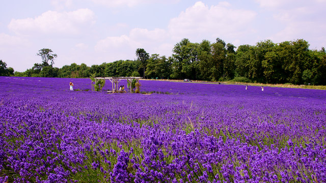 Mayfield Lavender, Woodmansterne