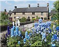 SK2364 : Delphiniums and housing, Stanton-in-Peak by Neil Theasby