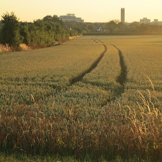 Wheatfield and setting sun