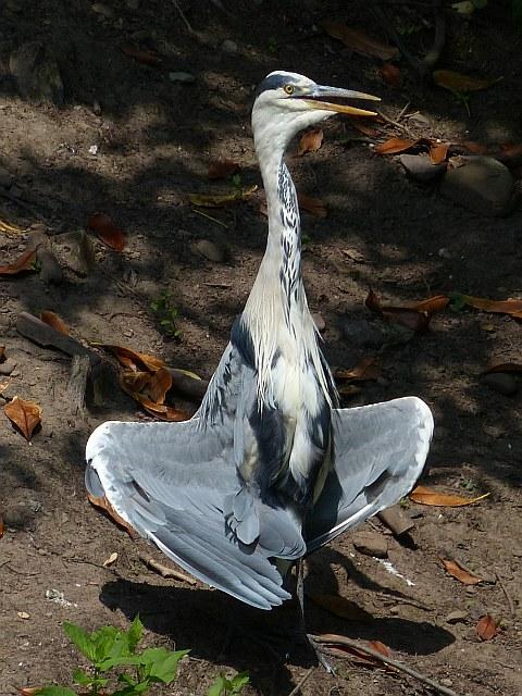 Grey Heron in spread-wing posture, Roath Park Lake, Cardiff