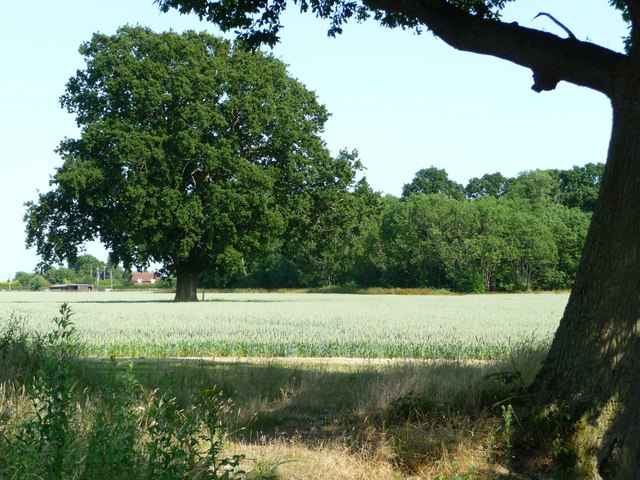 Tree in a wheatfield, west of Acton Farm