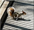 SJ9398 : Squirrel on Bridge #29 by Gerald England