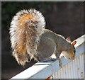 SJ9398 : Grey Squirrel by Gerald England