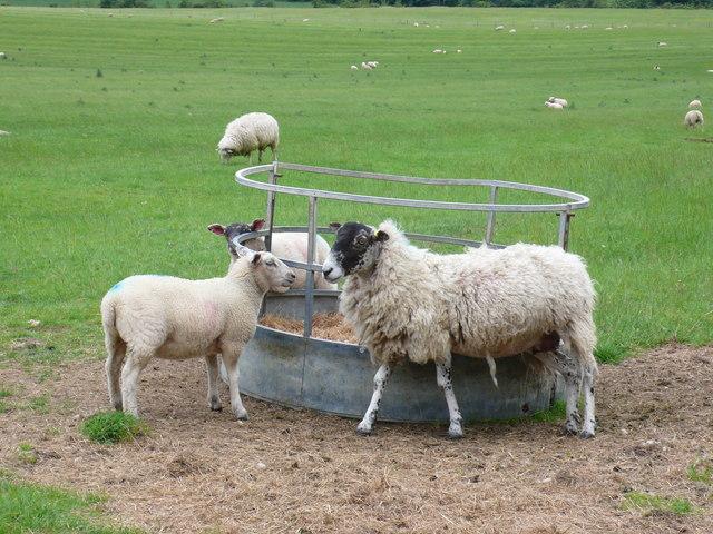 Sheep at the Clumps