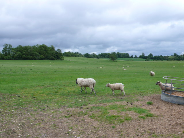 Sheep near The Clumps