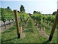 TQ8930 : Looking south, along the vines by Christine Johnstone