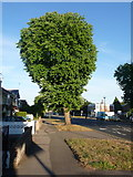 SZ0995 : Muscliff: horse chestnut in Castle Lane West by Chris Downer