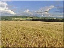 NH6454 : Barley field on the Black Isle by Julian Paren